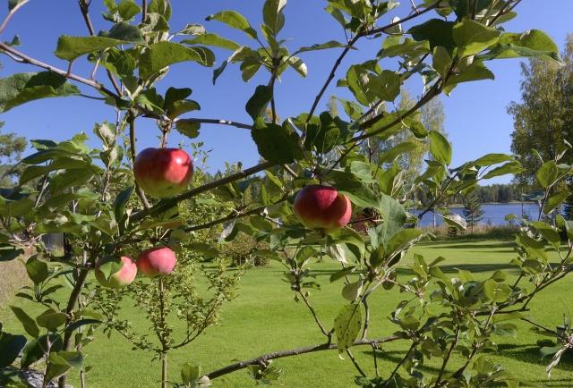 Kohmansalon omenat